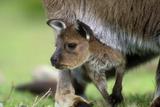 Western Grey Kangaroo with Joey Photographic Print
