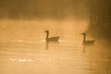 Greylag Geese Photographic Print