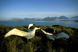 Wandering Albatross (Diomedea Exulans) Courtship Display Photographie