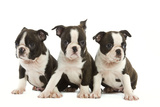 Three Boston Terrier Puppies in Studio Photographic Print