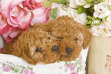 Apricot Poodles in Basket with Flowers Photographic Print