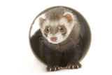 Ferret in Studio Photographic Print
