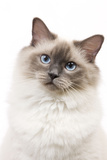 Ragdoll Blue Colourpoint in Studio Photographic Print