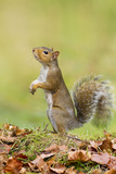 Grey Squirrel Standing on Hind Legs Photographic Print