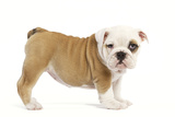 English Bulldog Puppy in Studio Photographic Print