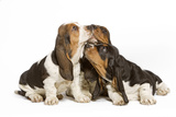 Three Basset Hounds in Studio Photographic Print