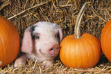 Pig Gloucester Old Spot Piglet with Pumpkins Photographic Print