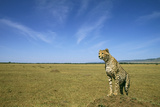 Cheetah Standing on Vantage Point Photographic Print