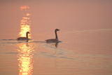 Canada Geese Pair at Sunrise Photographic Print