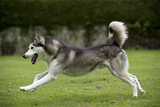 Siberian Husky Running Through Garden Photographic Print
