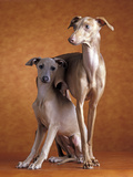 Small Italian Greyhounds Two Together Photographic Print