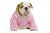 English Bulldog Puppy Dressed Up in Pink Photographic Print