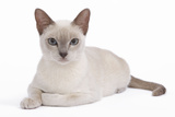 Tonkinese Cat Lilac in Studio Photographic Print