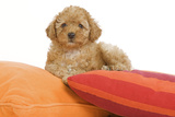 Apricot Poodle on Cushions Photographic Print
