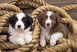 Border Collie Dog Puppies in Rope Photographic Print