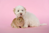 Dog and Rabbit Coton De Tulear Puppy (8 Wks Old) Photographic Print