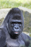 Gorilla Male, Portrait Photographic Print