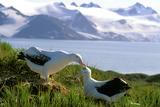 Wandering Albatross Pair Preening Photographie