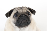 Pug Puppy (Head Shot) Photographic Print