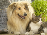 Collie Sitting with Tabby and White Cat Photographic Print