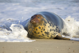 Grey Seal Hauling Out in Surf Photographic Print