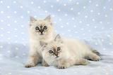 10 Week Old Ragdoll Kittens Photographic Print