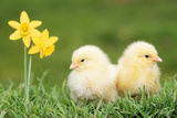 Chicks -Two Chicks Pictured by Daffodils - Fotografik Baskı