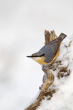 Nuthatch Portrait on a Snow Covered Old Stump December Reproduction photographique