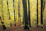 Beech Trees Woodland in Autumn Photographic Print