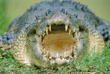 Indo-Pacific Crocodile Mouth Open Photographic Print