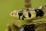 Tiger Rat Snake Photographic Print