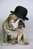 Bulldog Wearing Bowler Hat Photographic Print