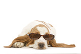 Basset Hound in Studio Wearing Sunglasses Photographic Print