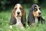 Basset Hound Puppies X2 Photographic Print