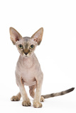 Sphinx Kitten 4 Months Old Photographic Print