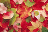 Boston Ivy Leaves in Autumn Photographic Print