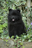 German Spitz Mittel, 8 Wk Old Puppy Photographic Print