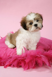 Shih Tzu 10 Week Old Puppy on Pink Cushion Photographic Print
