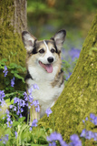 Pembroke Welsh Corgi Sitting Between Tree Trunks Photographic Print