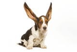 Basset Hound in Studio with Ears Up Photographic Print