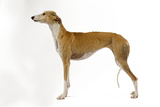Spanish Greyhound in Studio Photographic Print