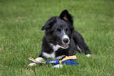 Border Collie Puppy Lying Down with Toy Photographic Print