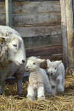 Sheep and Lambs Reproduction photographique