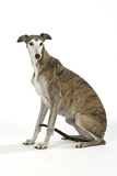 Dark Brindle and White Greyhound Photographic Print