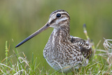 Common Snipe, Close-Up of Single Adult on Ground Photographic Print