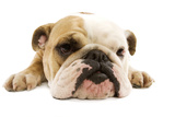 English Bulldog Lying in Studio Photographic Print