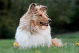 Rough Collie Dog Lying on Grass Photographic Print