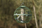Siskin and Tits on Squirrel Proof Globe Bird Feeder Photographic Print