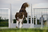 Border Collie Flyball Photographic Print