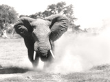 African Elephant Bull Displaying Aggressive Behaviour Fotografie-Druck